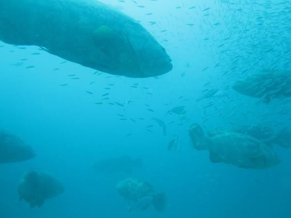 Goliath Groupers on the Corridor