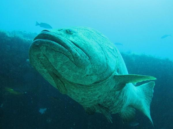 Goliath Grouper, my money shot