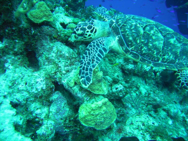 Turtle Bahamas