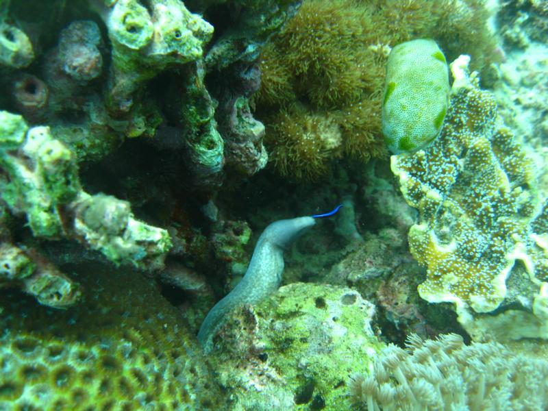Garden Eel, Alona Beach, Panglao, Philippines.