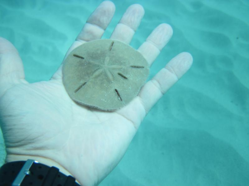 Sand Dollar, Coki Beach, St. Thomas, USVI, Nov-2010