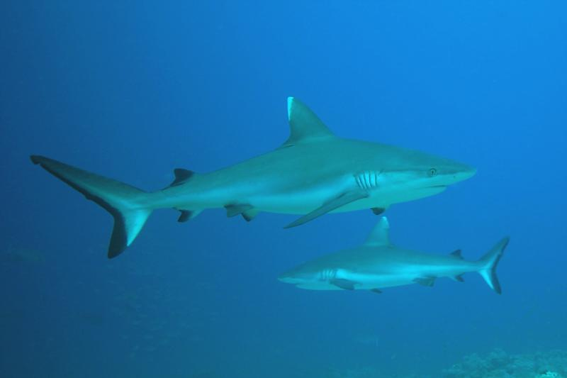 white tip shark in daedlus reef in the red sea
