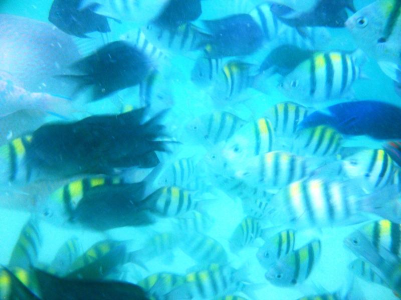 fish feeding frenzy, snake island, honda bay, palawan, philippines