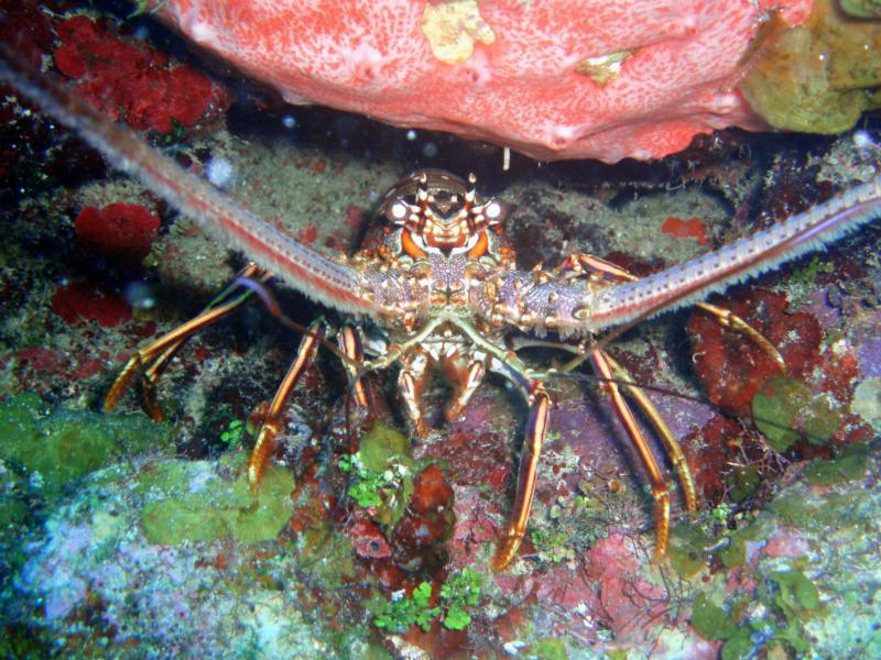 Roatan - Spiny lobster