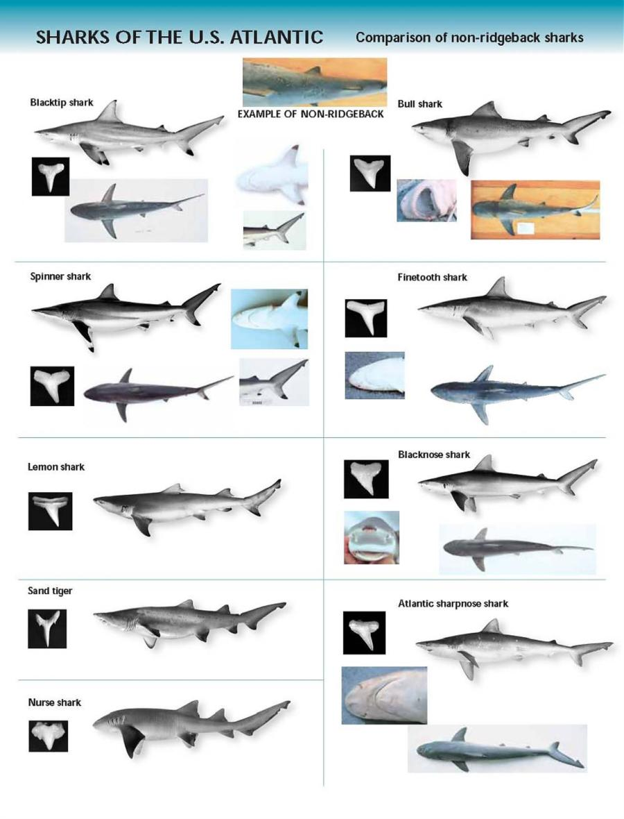 Shark Identification Chart - U.S. Atlantic Shark Species Chart