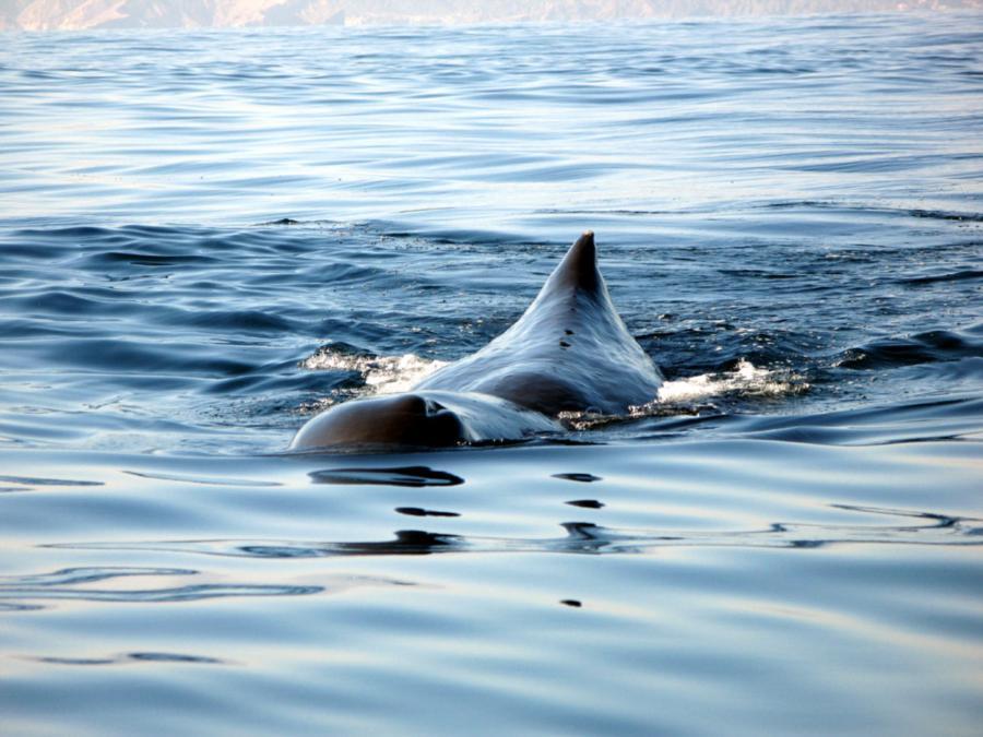 Sperm whale, Oman
