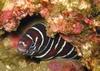 Zebra Morray, Cabo 10/07