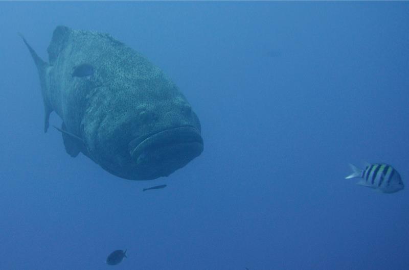 Grumpy Grouper (Key Largo, FL)