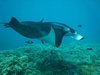 Unforgettable Maui dive...10 mantas in one spot!