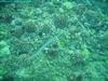 Silver Trumpetfish - jdhallchgo