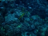 Yellow Trumpetfish - jdhallchgo