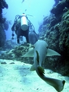 Nurse Shark following diver in Belize. To bad, he was a nice guy.