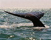 Gray Whale Tail in Baja. Nice tail!