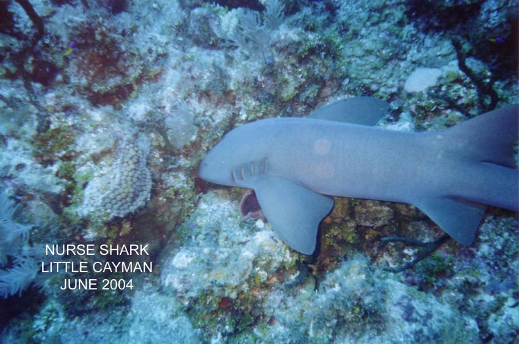 Nurse Shark in the Wall