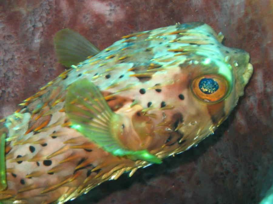 BalloonFish Eye Reflection