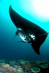 Another manta at Matava, Fiji