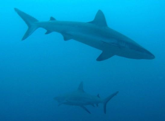 Sharks in Fiji