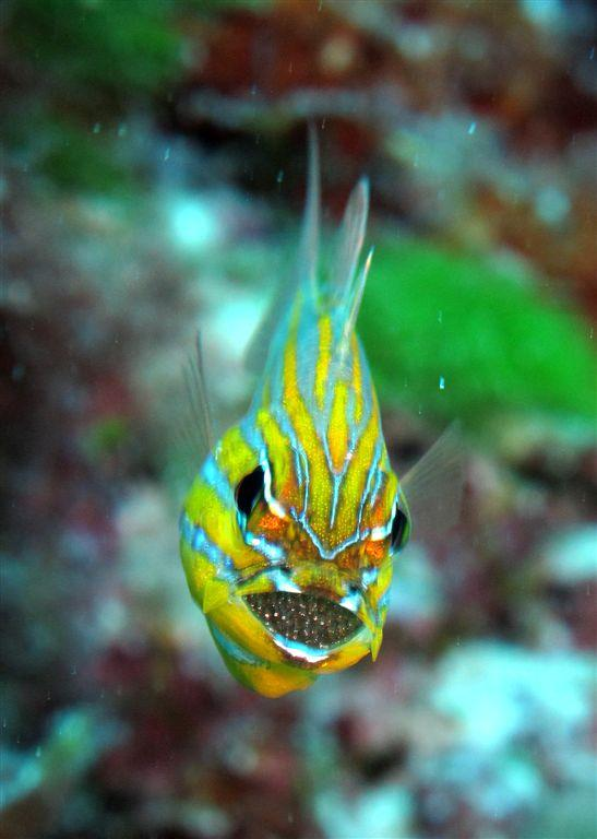 Mouth brooding cardinal fish