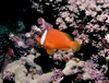 Clownfish - taken in Fiji