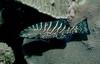 Comb Grouper - Bahamas