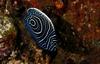 Emperor Angelfish - Bali - mermaidTX