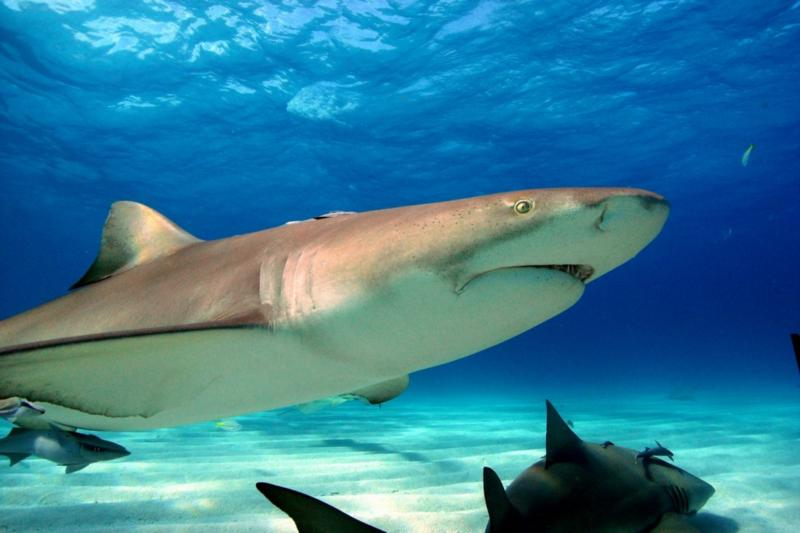 My best shot! Lemon Shark.  Tiger Beach Bahamas, Feb 2010