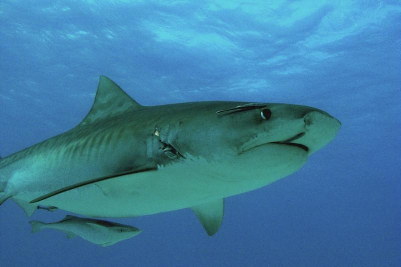 Emma the Tiger shark, Bahamas Feb 2010