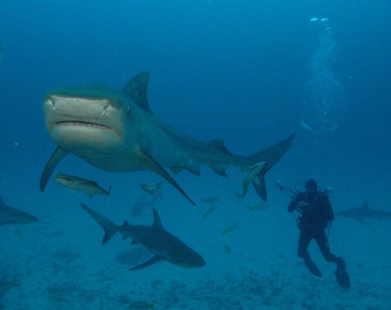 Big Tiger shark.  Bahamas Feb 2010