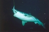 Great White-Guadalupe Island 2003