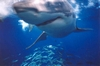 Close encounter of the cool kind! Great White-Guadalupe Island 2005