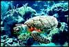 """""""Grand Turtle""""  Grand Turk Island, February 2008"""