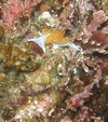 Nudibranch in whaler`s cove
