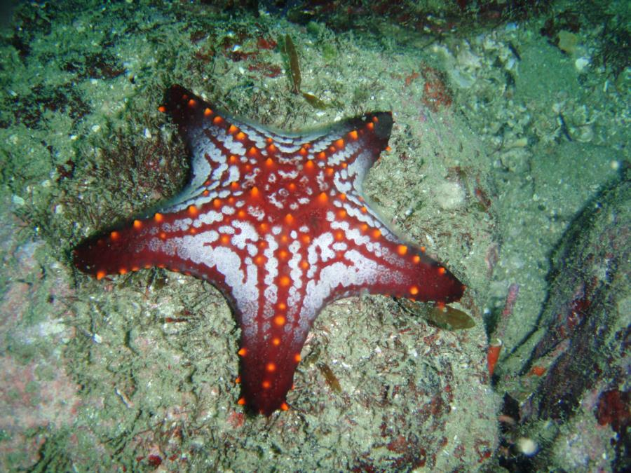 Sea Star, San Carlos Mexico