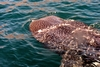 Whale Shark of Baja
