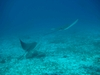 Cozumel - Jan 2008 - Spotted Eagle Rays