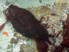Sea Hare, Lover`s Cove, Monterey Bay, CA