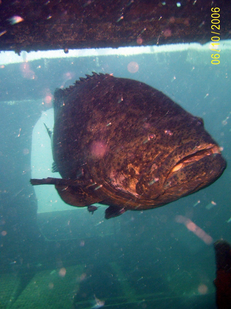 Giant Grouper - Twin Tugs - PCB FL