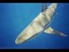 Galapagos Shark, North Shore, Hawaii
