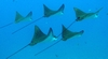 Eagle Rays in formation at the Mahi - ScubaMike