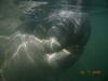 My manatee I visited with in Crystal River, Fl.