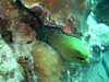 A moray eel with a shrimp on its back (Bonaire, December 2007)