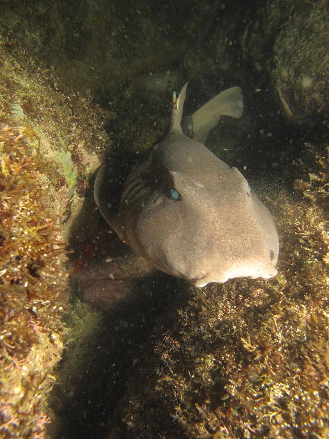 mexican horn shark
