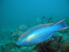 Parrot Fish - rzigfry