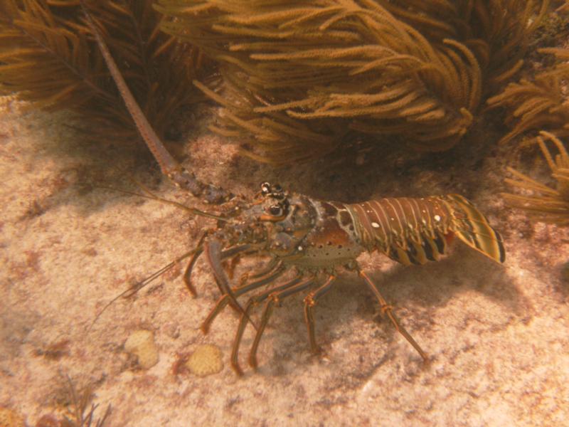 Spiny Lobster - Marathon Key, FL