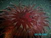bigger sea urchin