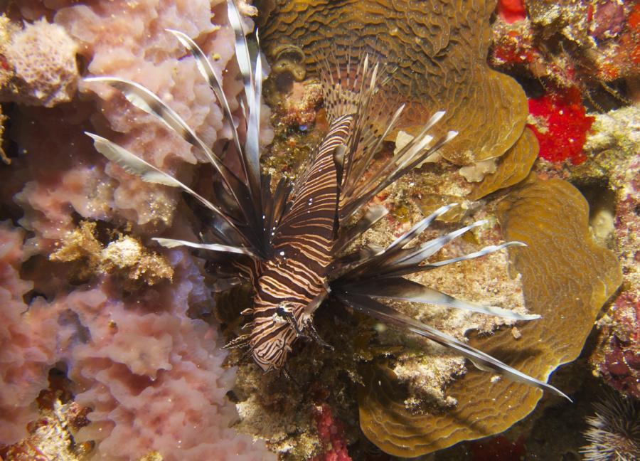 Lionfish Cancun