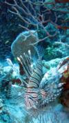 Nasty but beautiful - Belize Lionfish