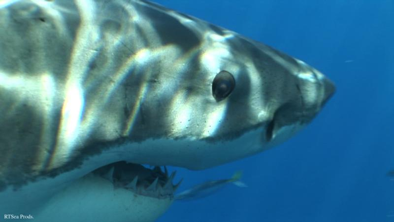 Great White Shark - RTSea Productions