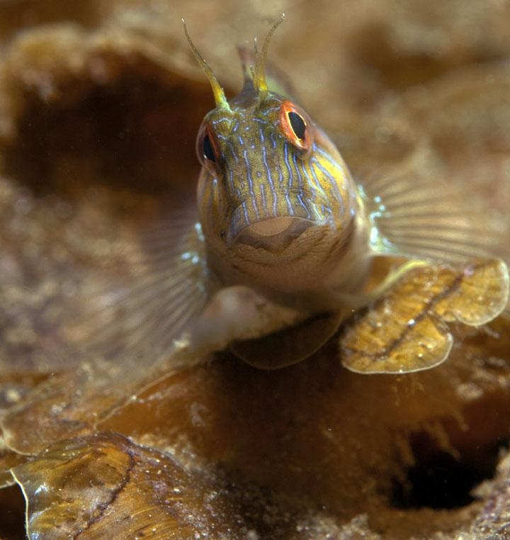 blenny on whitehill