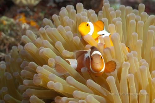 Evil Clownfish, Maumere, Indonesia